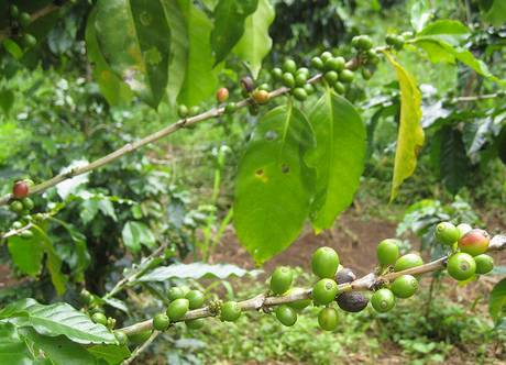 Robusta coffee plants