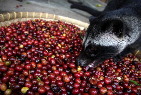 Civet Cat enjoying Luwak Coffee beans