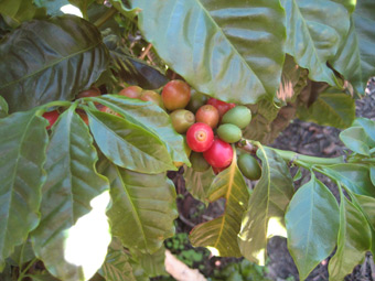 Coffee tree fruit - cherry